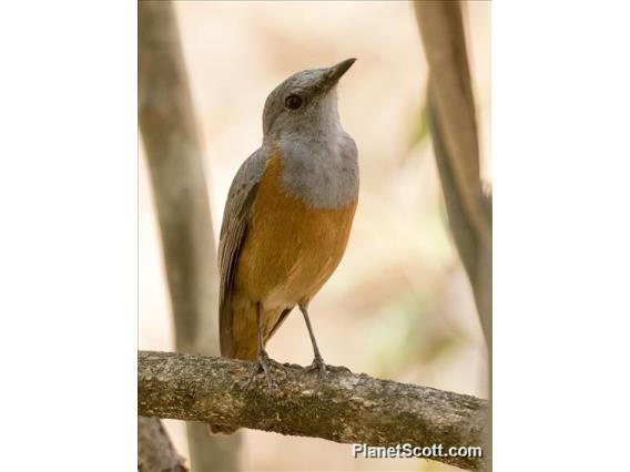 Forest Rock-Thrush (Monticola sharpei)