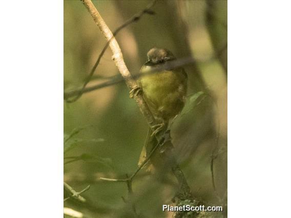 Wedge-tailed Jery (Hartertula flavoviridis)