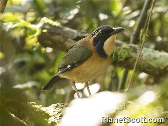 Pitta-like Ground-Roller (Atelornis pittoides)