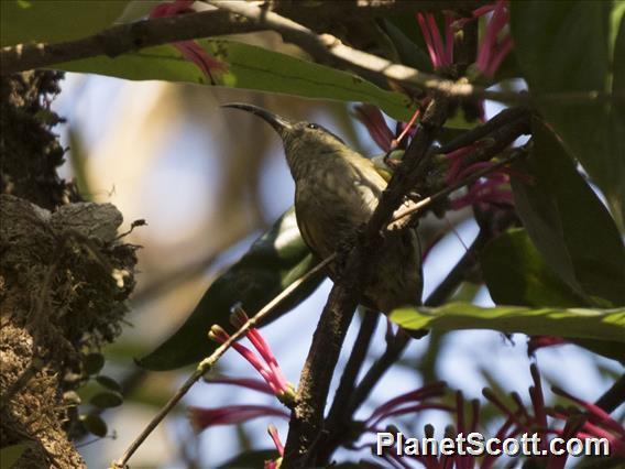 Sunbird Asity (Neodrepanis coruscans)