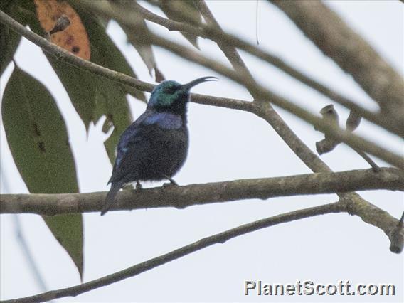 Madagascar Sunbird (Cinnyris notatus)