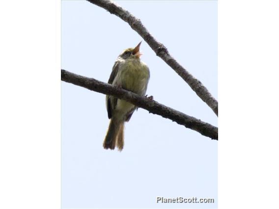 Green Jery (Neomixis viridis)