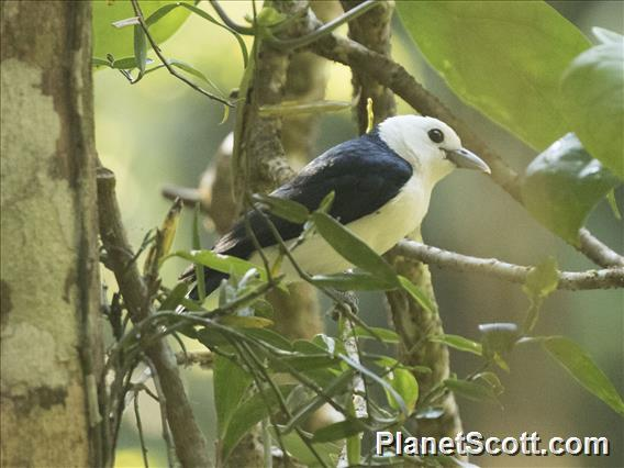 White-headed Vanga (Artamella viridis)
