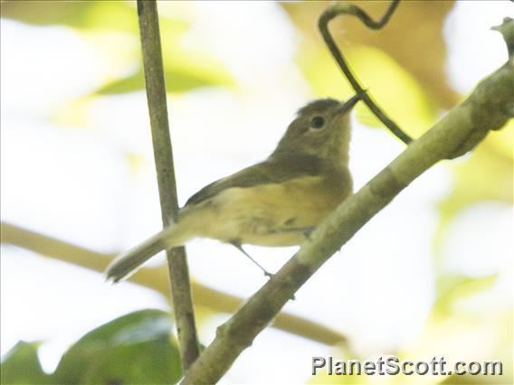 Cryptic Warbler (Cryptosylvicola randrianasoloi)