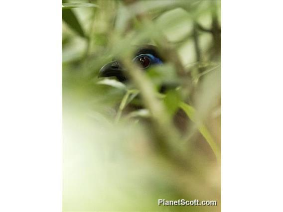 Red-breasted Coua (Coua serriana)