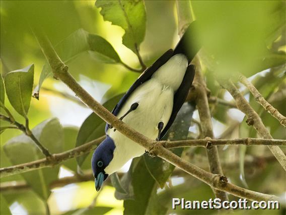 Blue Vanga (Cyanolanius madagascarinus)