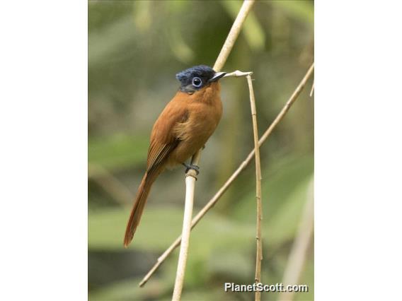 Madagascar Paradise-Flycatcher (Terpsiphone mutata)