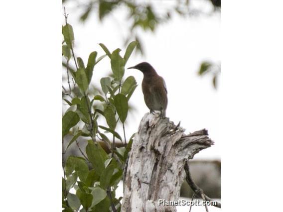 Madagascar Starling (Hartlaubius auratus)