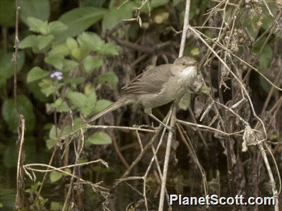 Madagascar Swamp-Warbler (Acrocephalus newtoni)