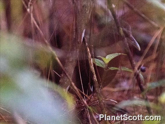 Madagascar Wood-Rail (Mentrocrex kioloides)
