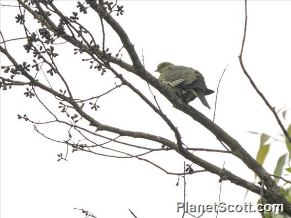 Madagascar Green-Pigeon (Treron australis)
