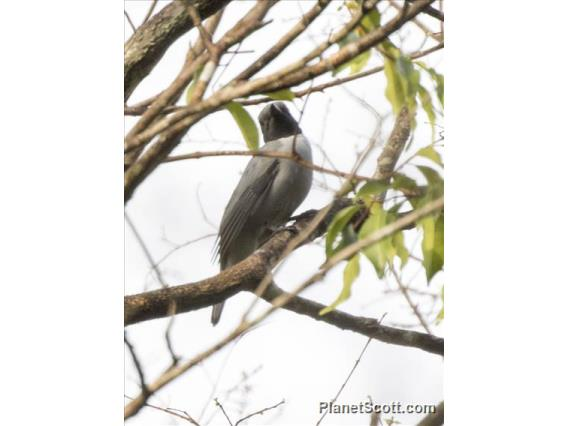 Ashy Cuckooshrike (Coracina cinerea)