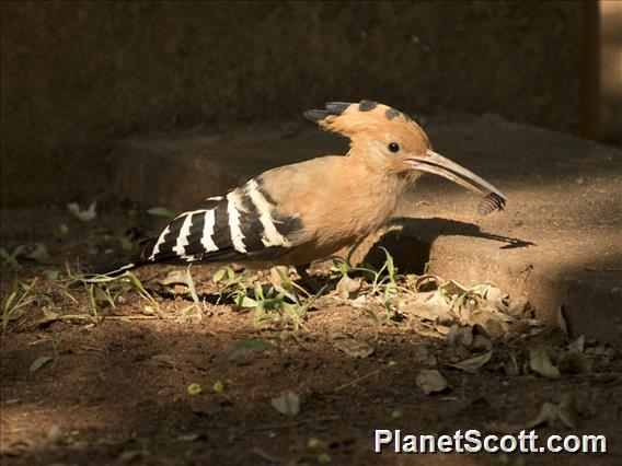 Madagascar Hoopoe (Upupa marginata)
