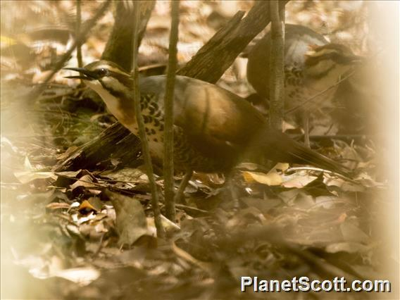 White-breasted Mesite (Mesitornis variegatus)