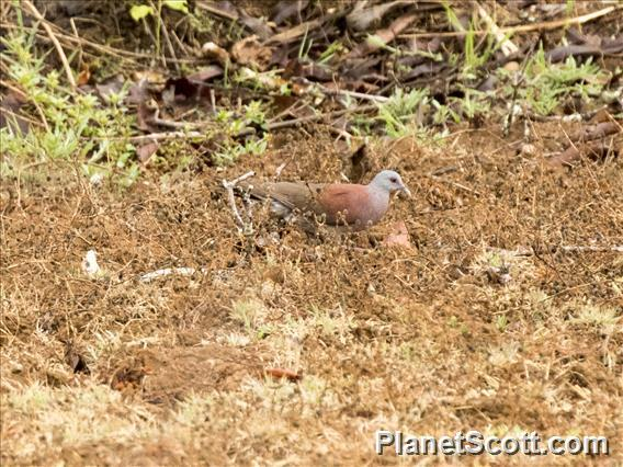 Madagascar Turtle-Dove (Streptopelia picturata)