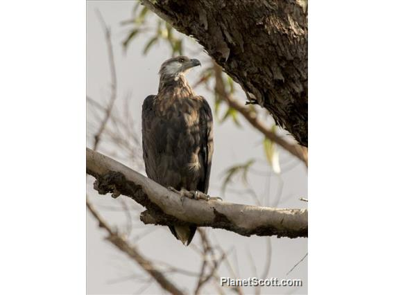 Madagascar Fish-Eagle (Haliaeetus vociferoides)