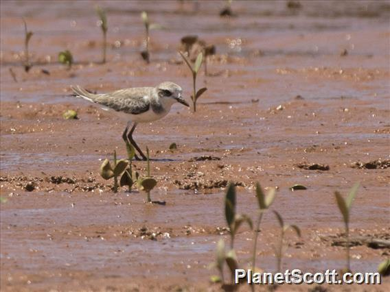 Greater Sand-Plover (Charadrius leschenaultii)