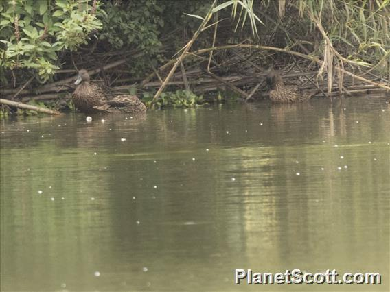 Meller's Duck (Anas melleri)