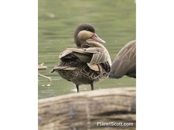 Red-billed Duck (Anas erythrorhyncha)