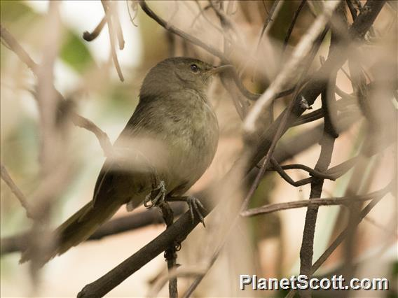 Madagascar Brush-Warbler (Nesillas typica)