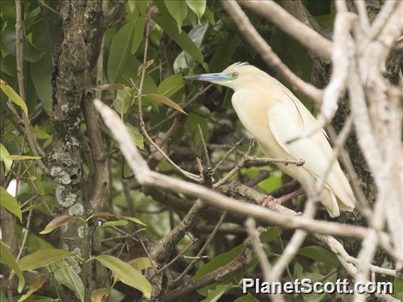 Madagascar Pond-Heron (Ardeola idae)