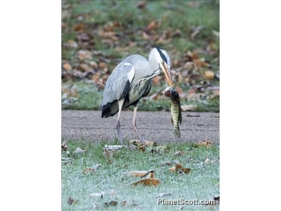 Gray Heron (Ardea cinerea)
