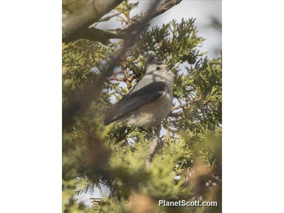 Black-crested Titmouse (Baeolophus atricristatus)