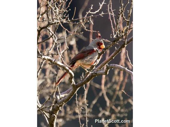 Pyrrhuloxia (Cardinalis sinuatus)