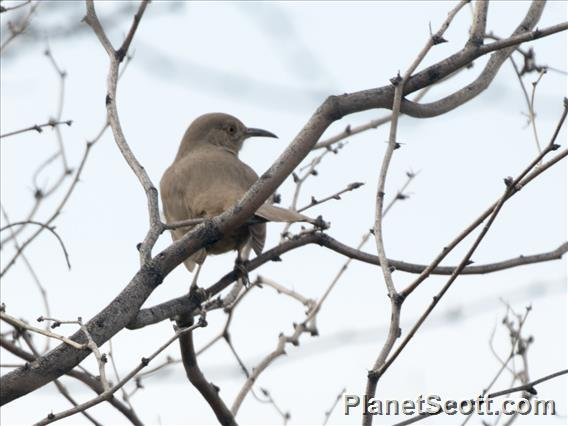 Bendire's Thrasher (Toxostoma bendirei)