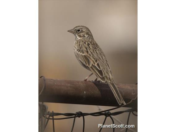 Vesper Sparrow (Pooecetes gramineus)