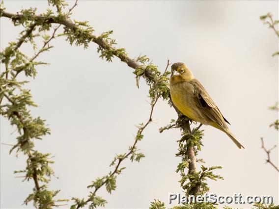 Grassland Yellow-Finch (Sicalis luteola)