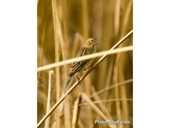 Grassland Yellow-Finch (Sicalis luteola) - Female