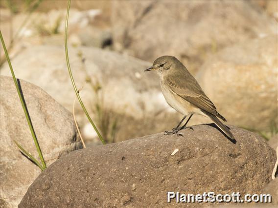 Spot-billed Ground-Tyrant (Muscisaxicola maculirostris)