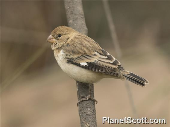 Chestnut-throated Seedeater (Sporophila telasco)