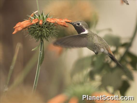 Oasis Hummingbird (Rhodopis vesper)