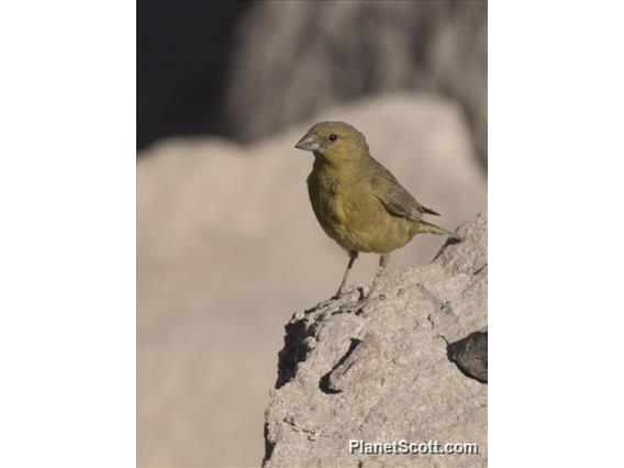 Greenish Yellow-Finch (Sicalis olivascens) - Male