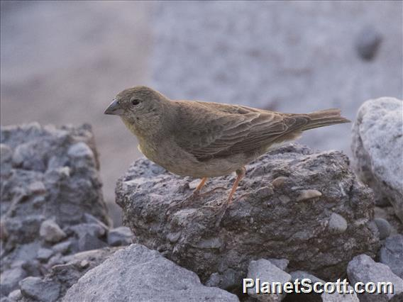 Greenish Yellow-Finch (Sicalis olivascens) - Female