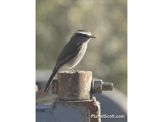 White-browed Chat-Tyrant (Ochthoeca leucophrys)