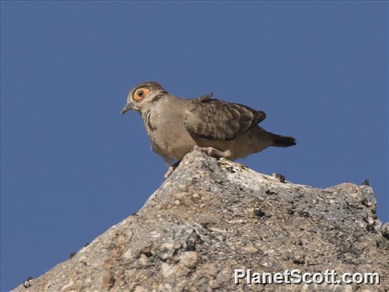 Bare-faced Ground Dove (Metriopelia ceciliae)