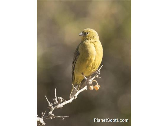 Greenish Yellow-Finch (Sicalis olivascens)
