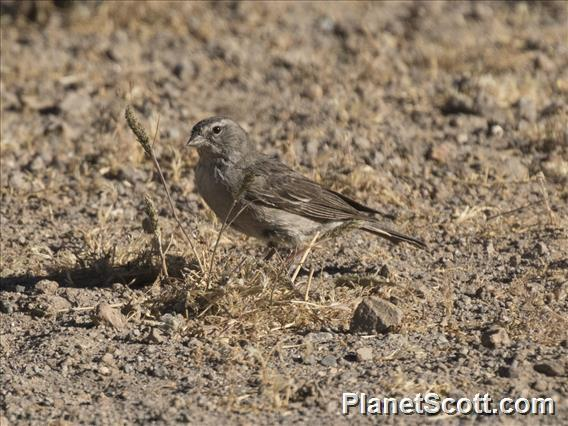 Ash-breasted Sierra-Finch (Geospizopsis plebejus)