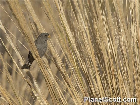 Band-tailed Seedeater (Catamenia analis)