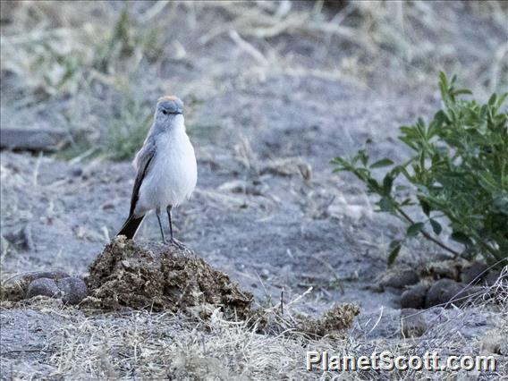 Rufous-naped Ground-Tyrant (Muscisaxicola rufivertex)