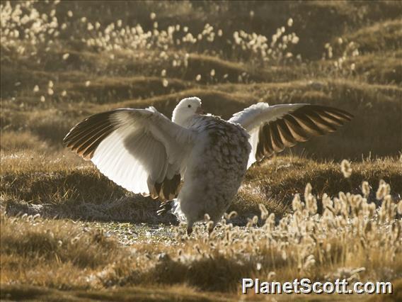 Andean Goose (Oressochen melanopterus)