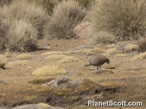 Puna Tinamou (Tinamotis pentlandii)