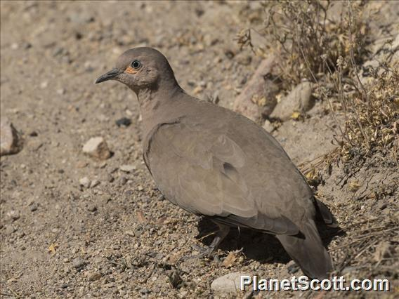 Black-winged Ground-Dove (Metriopelia melanoptera)