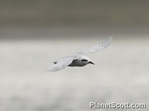 Snowy-crowned Tern (Sterna trudeaui)