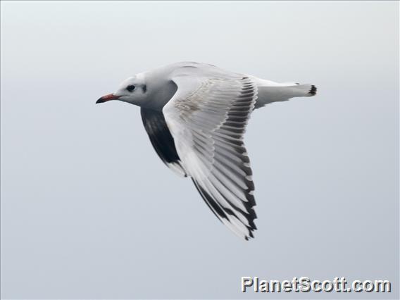 Brown-hooded Gull (Chroicocephalus maculipennis)